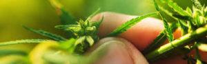 Cannabis Oil, prezzo, amazon, farmacia, dove si compra
